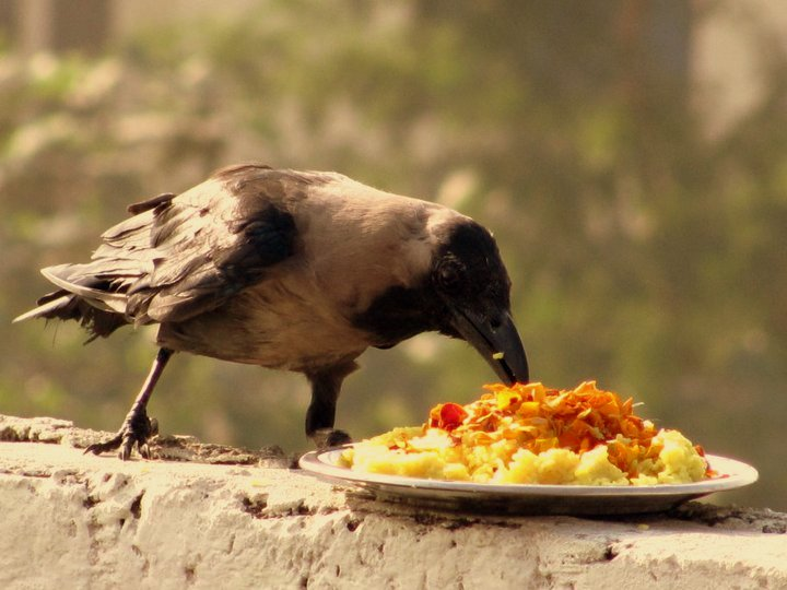 crow_eating_food