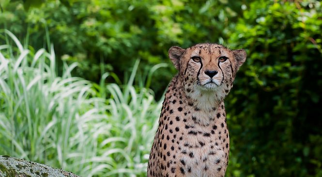 Cheetah Will Now Be Seen In India