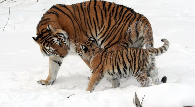 Importance Of International Tiger day 2021