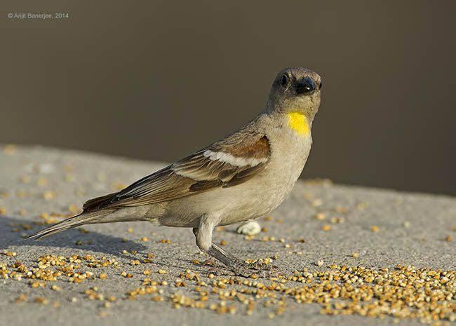 Yellow Throated bird