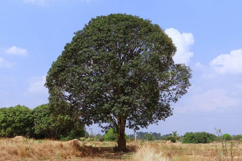 precious trees