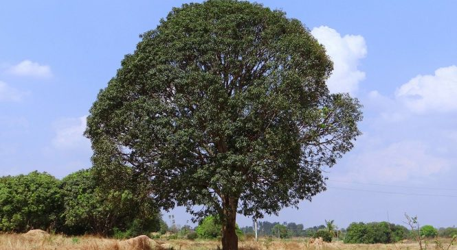 Most Precious Trees Of The Indian Climate